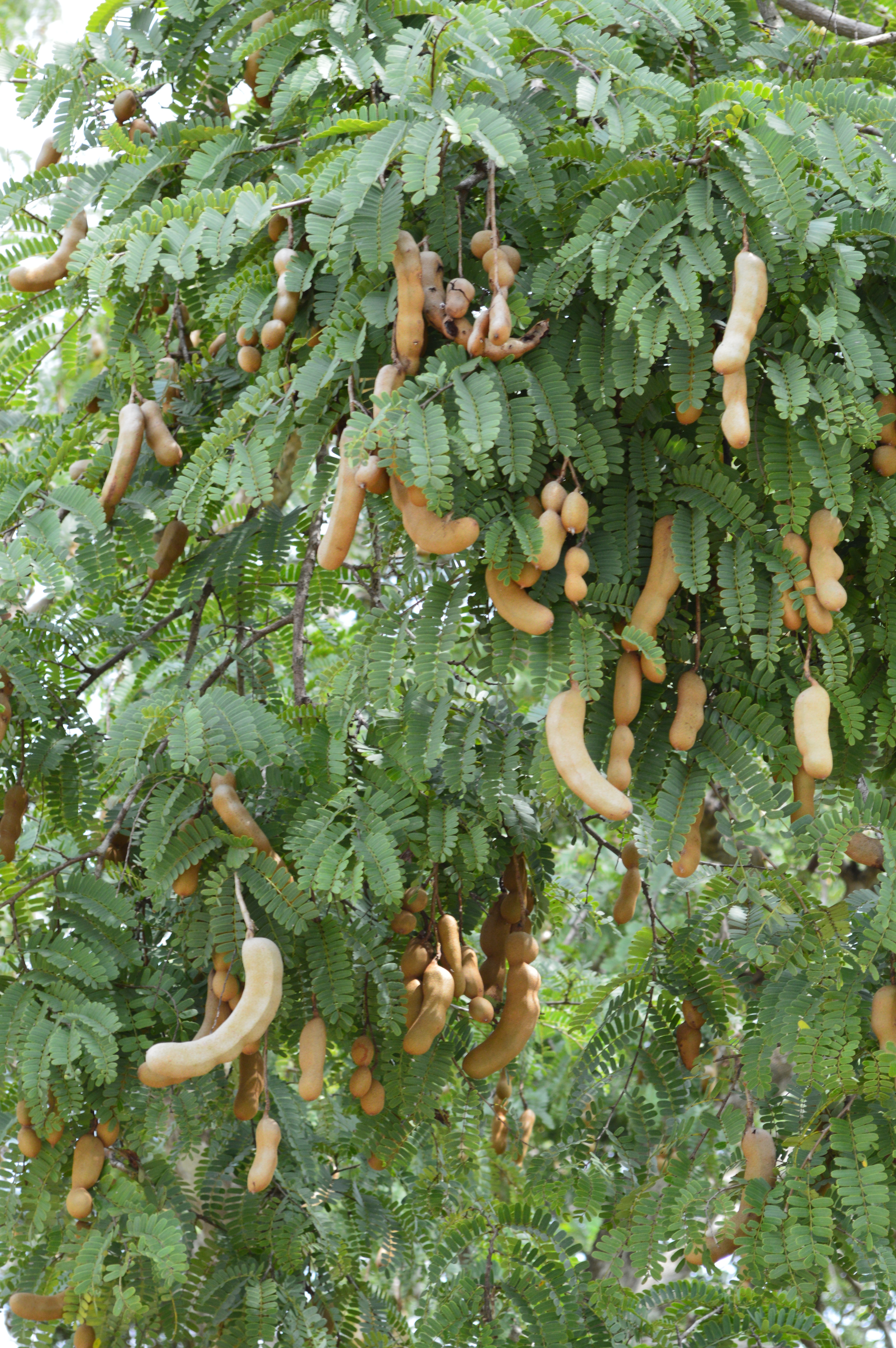 Tamarind Tree Related Keywords - Tamarind Tree Long Tail ...